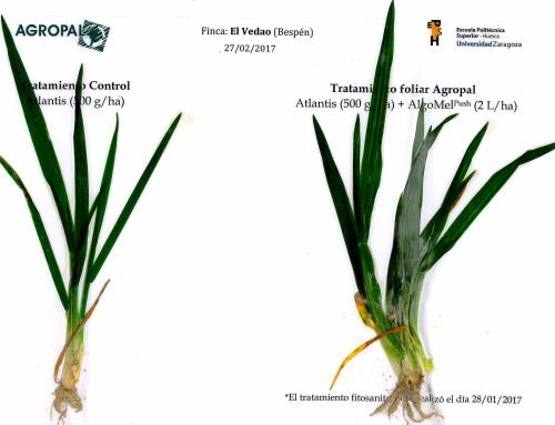 Primeros resultados de la aplicación de AlgoMel Push (Trigo blando en la Hoya de Huesca)