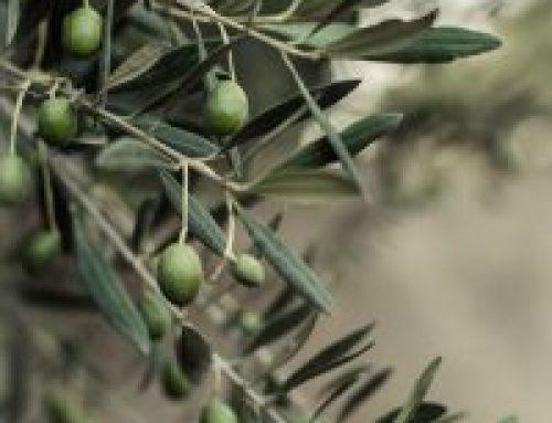 Aplicaciones de cobre post-cosecha en el olivar