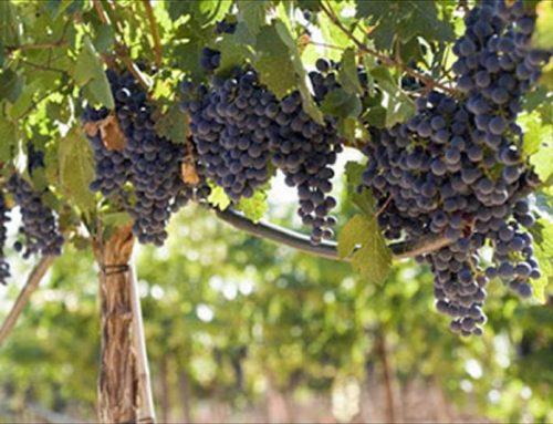 (Español) Beneficios  uso abono orgánico en viñedo