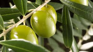 (Español) Aplicaciones de cobre post-cosecha en el olivar