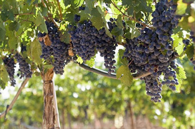 Beneficios  uso abono orgánico en viñedo